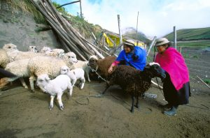Shepherding sheep on Mount Chimborazo, Ecuador.